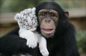 Chimp and white tiger